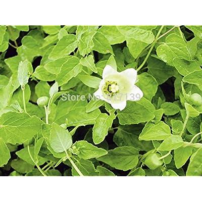 New Home Garden Plant 100 Seeds Codonopsis Pilosula Seeds Dang Shen or Poor Man's Ginseng Seeds : Garden & Outdoor