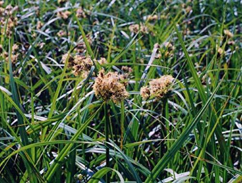 1 oz Seeds (Approx 505912 Seeds) of Scirpus Atrovirens, Dark Green Bulbrush, Meadow Rush