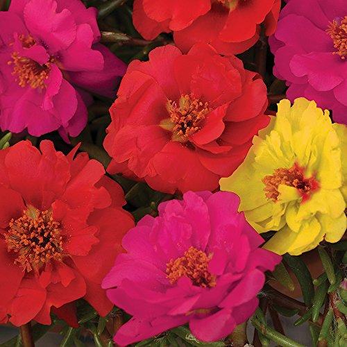 Burpee Color Carousel Mix Portulaca Seeds 50 seeds