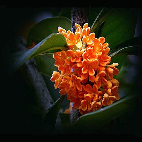 '100 pcs Courtyard Fragrant Flower Seeds, Perennial osmanthus fragrans Seeds, Seeds Rich Color Choose Flower sementes Garden ' ()