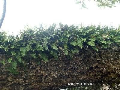 1 x Live Resurrection Plant Rose Of Jericho Dinosaur Plant Air Fern Spike Moss