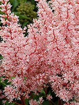 Astilbe 'Delft Lace, Perennial ,3 Bare-roots by sargeSeeds (Image #1)
