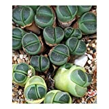 Lithops olivacea C112 – syn: Mesembryanthemum olivacea - 10 seeds