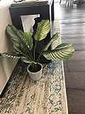 "Calathea Plant W/Pot 23"" for"