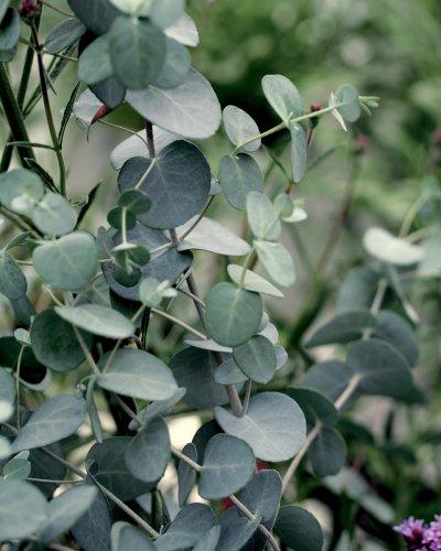 Silver Drop Eucalyptus 4 Plants - 2 1/2