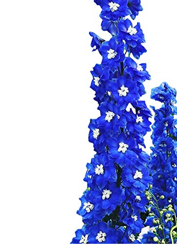 Delphinium Plants - Delphinium Seeds 150 Seeds - Cobalt - UPC 600188194661 & 1 Free Plant Marker