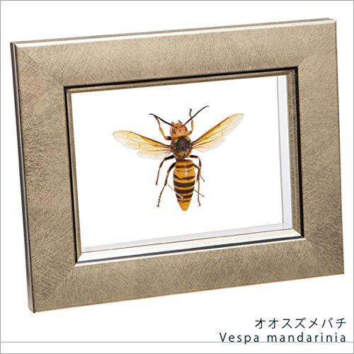 虫の標本 オオスズメバチ ライトフレーム メタリック調 B06Y6DP7PD