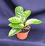 "Mini Garden Hoya CARNOSA 'Krinkle 8' Beautiful DIMPLED Foliage, 2 Rooted Plants in 3"" Pot"