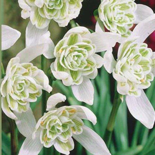 Double Snowdrops - Galanthus Flore Pleno - 8 Bulbs