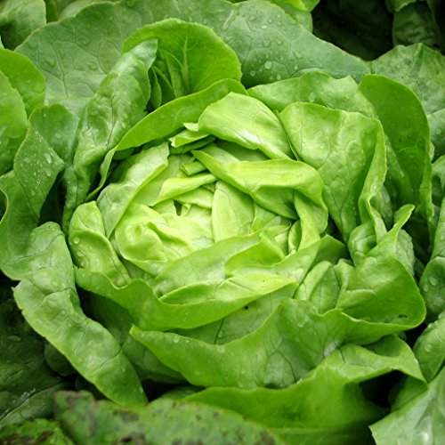 Buttercrunch Lettuce (aka Butter Head Lettuce) 1000+ Seeds. Certified Organic Non-GMO. Sprouting Guaranteed.
