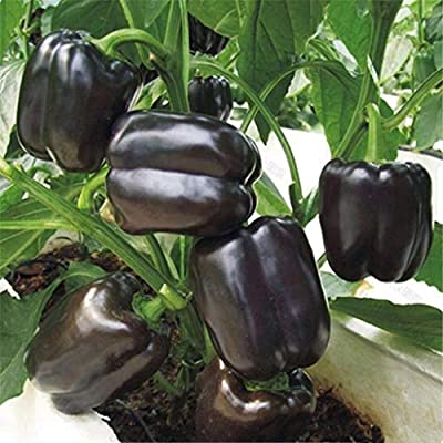 XKSIKjian's Garden, 100Pcs Colorful Sweet Pepper Chili Seed Organic Vegetable Ornamental Plant Home Decor Non-GMO Open Pollinated Seeds for Planting - Green Chili Seeds : Garden & Outdoor