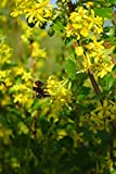 Home Comforts Peel-n-Stick Poster of Flowers Shrub Bush Yellow Branch Ribes Aureum Poster 24x16 Adhesive Sticker Poster Print