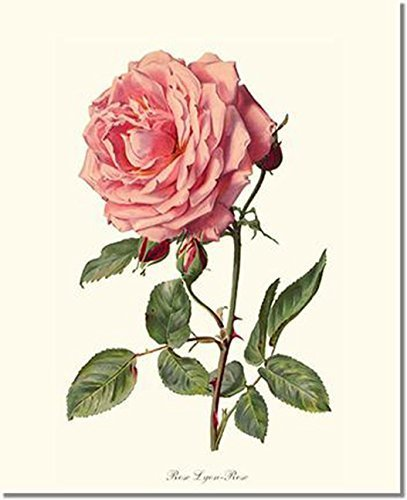 Pink Rose Print: Vintage Botanical Art - Rose (Lyon Framed)
