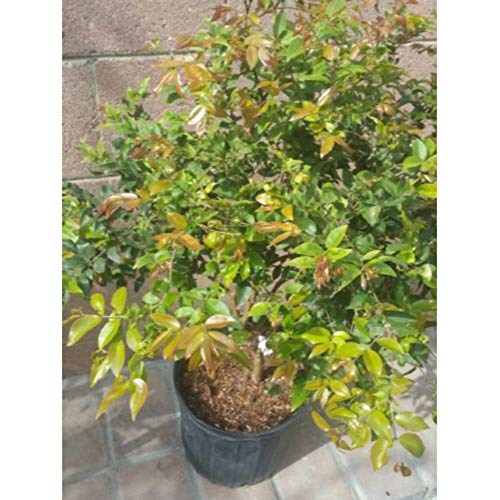 Myrciaria Cauliflora Tropical Fruit Tree 30-36 Inch Height in 5 Gallon Pot #BS1 by iniloplant (Image #2)