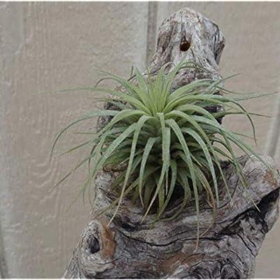 2 Inch Air Plants Tillandsia Ionantha Rubra Plant - CSR23 : Garden & Outdoor