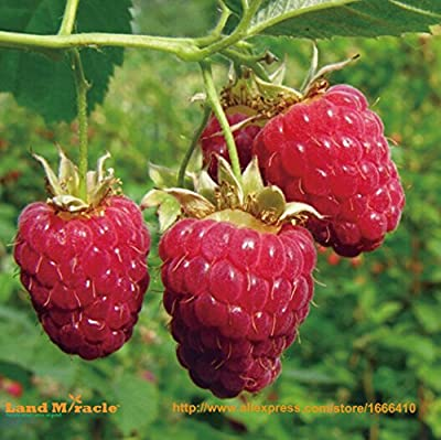 HOO PRODUCTS- GIANTSWEETTULAMEEN RASPBERRY 50 SEEDS/PACK,ANTIOXIDANTFIBRE # Hot Sale!