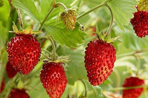 640 semi fragola europea fragola dei Carpazi fraisier des bois Fragola selvatica fragolaRujana fragola alpina