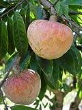 Annona Reticulata Bullocks Heart or Red Custard Apple Fruit 25 Seeds