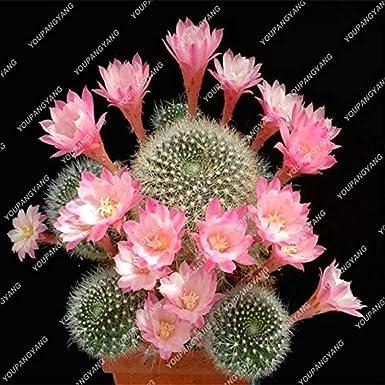 300PCS MIXED Cactus Multifarious Ornamental Flower bonsai Can Purify Air