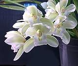Amazoncom  Orchid Insanity  Cymbidium Sarah Jean Ice