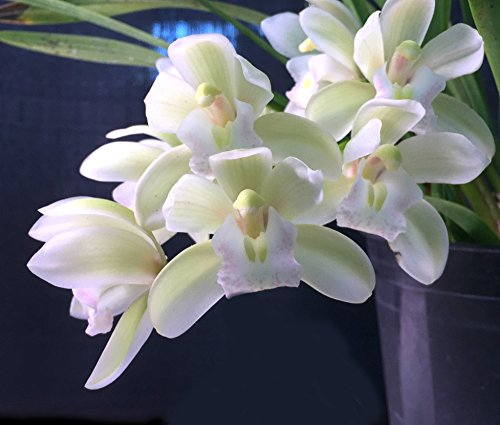 - Orchid Insanity -- Cymbidium Sarah Jean 'Ice Cascade' -- a top-selling orchid of all time EASY to grow and BLOOM mildly FRAGRANT flowers excellent for beginners