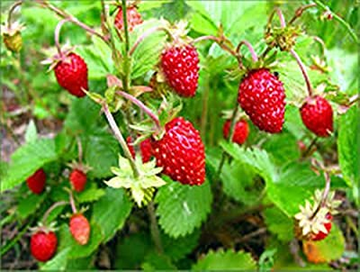 Seeds Wild Strawberries Baron Solemakher Organically Grown Natural Heirloom