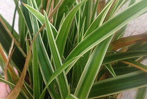 Carex Morrowii Ice - 2