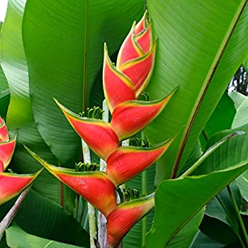 Pink // Red // Yellow 5 Heliconia Spathocircinata Rare Tropical Plant Seeds