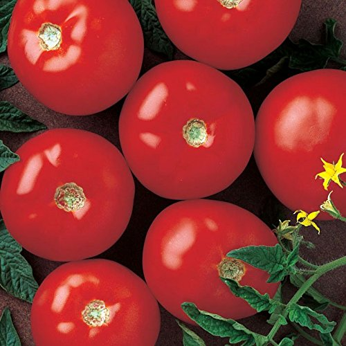 Tomato Mountain Fresh Plus F1 - Pelleted Vegetable Seeds - 500 Seeds by HARRIS MORAN