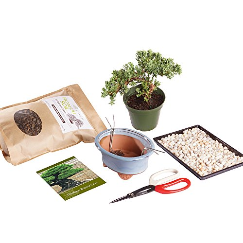 Brussel's Live Green Mound Juniper Outdoor Bonsai Tree Kit - 3 Years Old; 6