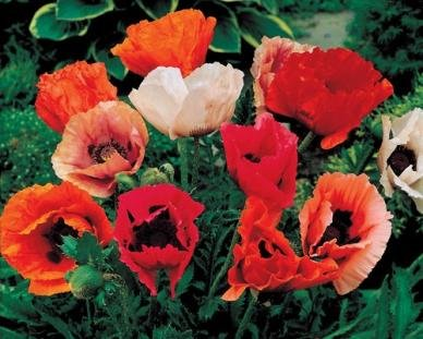 davids-garden-seeds-flower-poppy-oriental-mixed-dgspop112rf-multi-1000-open-pollinated-seeds