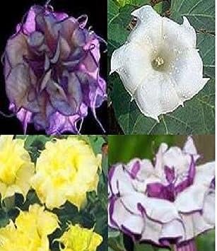 100 Samen Datura Stechapfel...Farbe weiß...