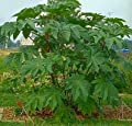 Giant Zanzibar Castor Bean 7 Seeds -Ricinus- Green Leaf