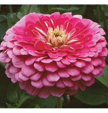 David's Garden Seeds Flower Zinnia Benary's Giant Carmine Rose Heat Tolerant D1363 (Rose) 50 Open Pollinated Seeds