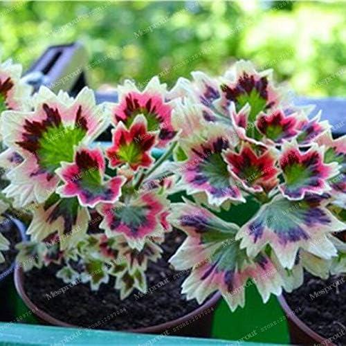 4: Jefe loco!!! 100 piezas raras semillas de geranio geranio abigarrado maceta de jardín de invierno Bonsai planta de flor en maceta jardín de su casa: Amazon.es: Jardín