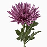 Wholesale Fresh Cut Spider Mums (Chrysanthemum) from the Farm (100 Purple)