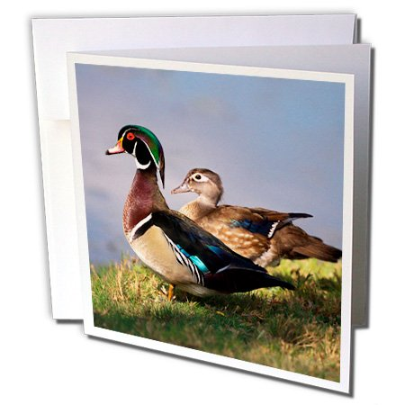 3dRose USA, California, Lakeside, Wood Duck - Greeting Cards, 6 x 6