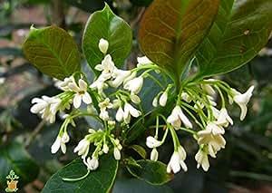 1 Starter Plant of Tea Olive