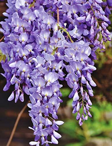 - Notebook: Blue rain flower violet wisteria plant blossom cobalt navy ultramarine color prussian