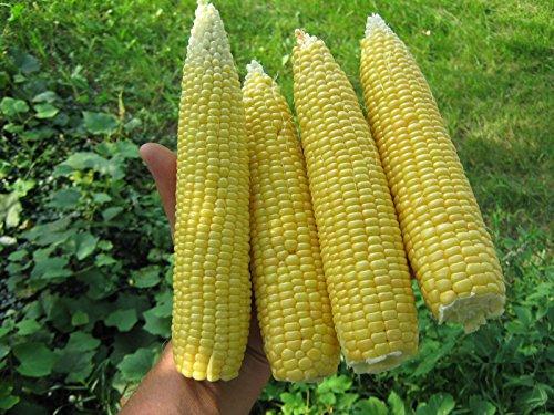 NEW ROB'S SUPER SWEET CORN-YELLOW50 (Super Sweet Corn)