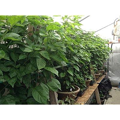 Hottest Pepper Plants (red Carolina Reaper) (3 plants): Everything Else