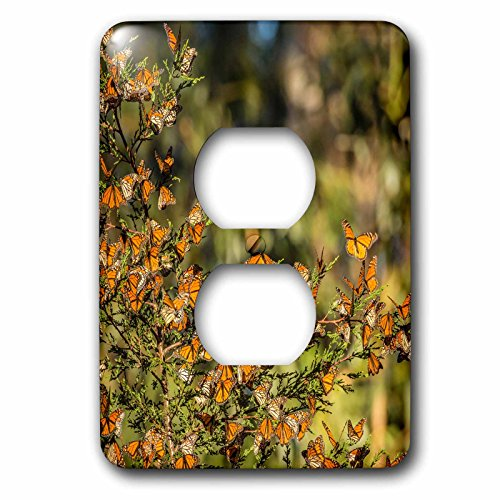 3dRose Danita Delimont - Butterflies - California, Pismo Beach. Monarch butterflies clustering in winter sun. - Light Switch Covers - 2 plug outlet cover - Outlet Beach Pismo
