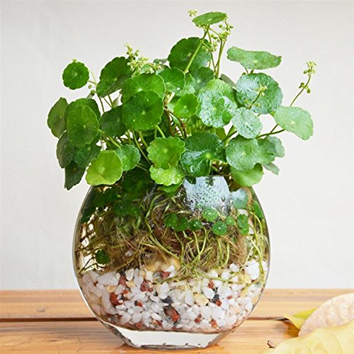 Flower Seeds Pilea Seeds 50Pcs/bag Copper Grass Cold Water Indoor Putdoor Pot Seed Aquatic Plant Bonsai Annual Garden Ornaments