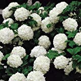 Snowball Viburnum - Live Plant - Shipped 1 to 2 Feet Tall - Common Snow Ball (No California)