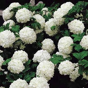 amazon com snowball viburnum live plants shipped over 1 foot