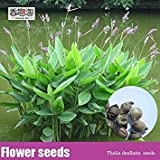 PLAT FIRM-Seeds Aquatic Perennial herbaceous Plants Thalia dealbata Seeds, Flower Seeds 10cs