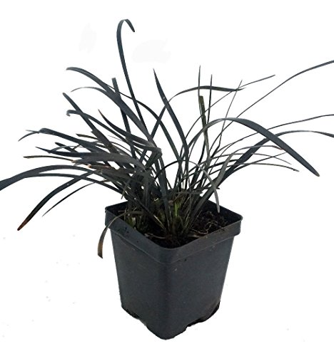 Black Dragon Mondo Grass Plants  Ophiopogon nigrescens  4quot pot  Clump