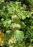 White Horehound seeds - Marrubium vulgare