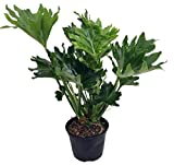 "Hope Philodendron - Easy to Grow House Plant - 6"" Pot"
