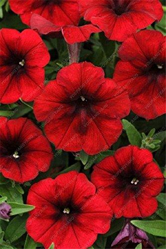 100 Seed 9 Colors Calibrachoa Organic Petunia Seed Mixed 'Garden Petunia' Very Beautiful Flower Seed-Land Miracle Green (Petunia Seed Organic)